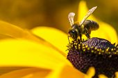 stock photo of working animal  - Close-up photo of a Western Honey Bee gathering nectar and spreading pollen on a young Autumn Sun Coneflower (Rudbeckia nitida).