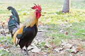 Bantam Thailand (poultry)