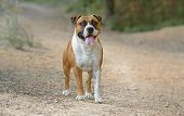 Adult American Staffordshire Terrier Dog