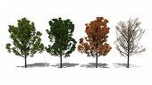 Quercus Rubra (four Seasons)