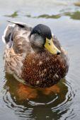 Cute Photogenic Duck