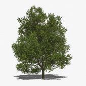 Quercus Robur (summer)