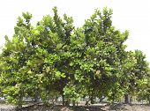 Pomelo Fruit Tree