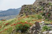 Poppies Grow Among Greek Ruins