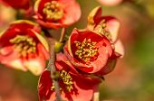 Closeup Photo Chaenomeles Flowers
