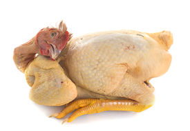 picture of banty  - fattened hen in front of white background