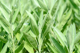 picture of clary  - Fresh green leaves of Clary Sage close up - JPG