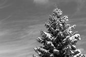 Canadian Tree In The Winter Black And White