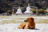 Redhead Dog And Buddhist Stupas