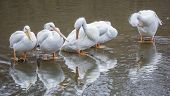 Great White Pelicans (Pelecanus onocrotalus) standing in shallow water