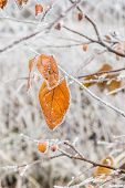 Orange Leaves Of Quince With White Hoarfrost