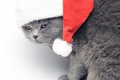 Christmas British Cat In Red Santa Hat