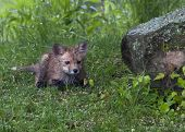 Baby Red Fox Exploring