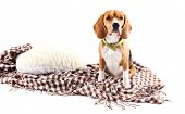 Beagle dog on plaid isolated on white