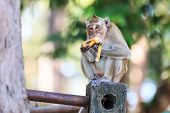 Monkey (crab-eating Macaque) Eating Banana In Thailand