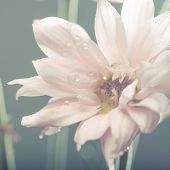 Close up of a pale pink flower.