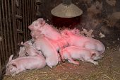 Little piglets suckling their mother