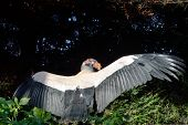 Large Black and white vulture bird of prey