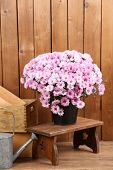 Chrysanthemum bush in pot on wooden wall background