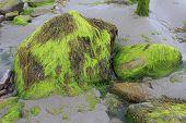 Stones with mud and seaweed on the beach of Atlantic Ocean.