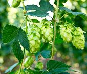 stock photo of hop-plant  - ripened hop cones in the hop garden