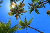 Coconut palms against clear blue sky with sun behind leaves.