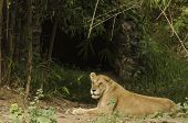 Asiatic lioness protecting her den