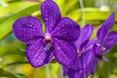 image of orquidea  - A branch of purple orchid in the garden - JPG