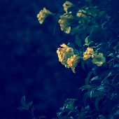 Wild yellow flowers on the bush - outdoor image.