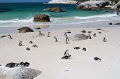 Penguins At Simon's Town