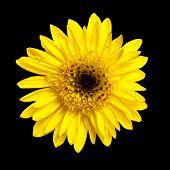 African Daisy. Yellow gerbera.