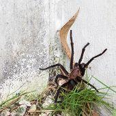 Brown Aphonopelma Tarantula