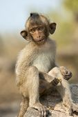 picture of baby-monkey  - baby monkey sitting on the rocks and eat - JPG