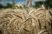 foto of food crops  - Close up of wheat crop with a field and trees in the background - JPG