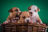 stock photo of american staffordshire terrier  - Puppy American Staffordshire Terrier studio portrait dog on a color background - JPG