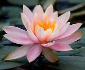 Lotus (Botanik)
