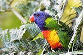 picture of lorikeets  - Australian native rainbow lorikeet perched in a tree fern - JPG