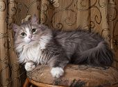 stock photo of stool  - Fluffy gray and white cat sitting on stool on background of curtains - JPG