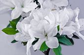 foto of azalea  - white azaleas in full frame background picture - JPG