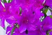 pic of azalea  - red azaleas in the blank background picture - JPG