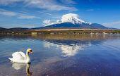 foto of mount fuji  - White Swan with Mount Fuji at Yamanaka lake - JPG