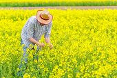 stock photo of cultivation  - Male Farmer Standing in Oilseed Rapeseed Cultivated Agricultural Field Examining and Controlling The Growth of Plants Crop Protection Agrotech Concept - JPG