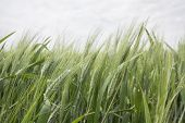 pic of spike  - Spikes of green wheat in spring - JPG