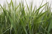 foto of spike  - Spikes of green wheat in spring - JPG