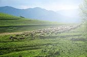 foto of sheep  - Flock of sheep in the pasture - JPG
