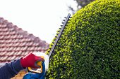 foto of electric trimmer  - Cutting a hedge with electrical hedge trimmer - JPG