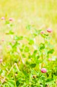 stock photo of red clover  - Red clover flower on summer green meadow - JPG