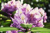 pic of oleander  - Oleander flower in the spring garden - JPG