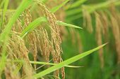 picture of rice  - rice grain in growth at rice paddy - JPG