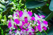 stock photo of orquidea  - Beautiful violet Orchids Phalaenopsis Hybrid flower in the garden - JPG